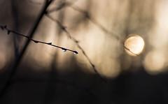 Tears (V Photography and Art) Tags: bokeh lowlight morning sunrise dof shallowdof droplets tree branches dark