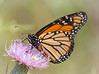 Memory of warmer days (tresed47) Tags: 2016 201608aug 20160829bombayhookmisc bombayhook butterflies canon7d content delaware folder insects monarch peterscamera petersphotos places takenby us ngc