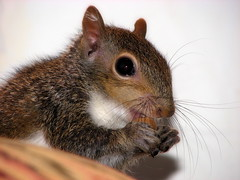 Hammy 2 (TheEclecticArtisan) Tags: squirrel babysquirrel hammy rodent pet rescue cute furry babyanimal animal wildlife wild animalsquirrel