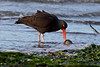 Black Oystercatcher - 094A2467a4c (Sue Coastal Observer) Tags: blackoystercatcher bloy haematopusbachmani blackiespit surrey bc britishcolumbia feeding clam canada ocean