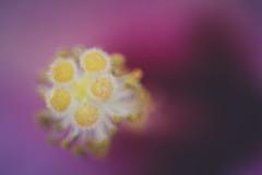 Inner beauty (Elena L-v) Tags: flower hibiscus stamen pistil macro