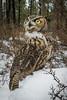 Curious Owl (Jon David Nelson) Tags: owl greathornedowl bubo bubovirginianus owls birdsofprey wildlife raptors education conservation highdesert centraloregon oregon