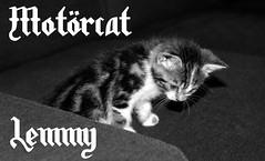 Lemmy curious Motörcat (Martijn A) Tags: motörcat motörhead cat kat lemmy blackandwhite zwartwit bw monochrome zw canon d550 dslr 35mm lens pet huisdier love liefde naughty ondeugend animal dier life leven wwwgevoeligeplatennl