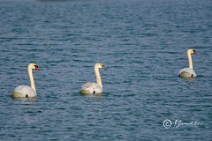 Is He Following Us (Jeannot7) Tags: muteswan cygnusolor bird birdwatcher cobourg ontario lakeontario harbour marina
