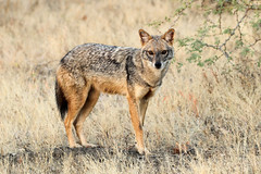 Golden Jackal - Canis aureus (Roger Wasley) Tags: golden jackal canis aureus velavadar national park gujarat india wild mammal canid europe indian subcontinent asia iucn red list