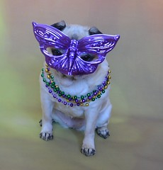 Mardi Gras Pug (DaPuglet) Tags: pug pugs dog dogs pet pets animal animals mardigras fattuesday mask masquerade beads celebration party neworleans holiday costume disguise purple