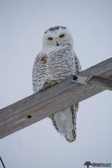 12-21-2016 Snowy-3866-2 (CJPostal) Tags: snowy owl owls snow bubo wildlife nature wild life rural farm prairie bird birdwatching birds sky winter cold michigan midmichigan pure breckenridge gratiot county mi great lakes bay