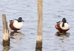TF2A2653-cucharas (jgarcimor) Tags: aves birds wildlife naturaleza teich pato cuchara northern shoveler