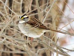 White-throated Sparrow (Dean Newhouse) Tags: whitethroatedsparrow