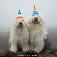 "Hooray it's my birthday ! "" explore"" (dewollewei) Tags: birthday happybirthday happy dog dogs oldenglishsheepdogs oldenglishsheepdog oes bobtail dewollewei celabrate party explore explored sophieandsarah verjaardag hat fun funny cute canon7dmark2 canon 50mm pet oldenglisgsheepdog old english sheepdogs"