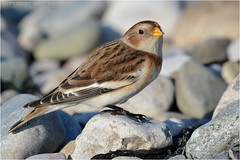 "Snow bunting (Plectrophenax nivalis ) (DaveChapman ""If it flies,I shoot it"") Tags: plectrophenaxnivalis sea snowbunting snow bunting sand uk bird birds migration migrate seaside beach"