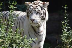White Tiger 2 (castorssito) Tags: whitetiger tigreblanco nikon nikond3200 felino feline