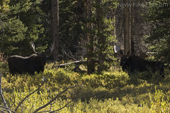 "Bull Moose • <a style=""font-size:0.8em;"" href=""http://www.flickr.com/photos/63501323@N07/32324829891/"" target=""_blank"">View on Flickr</a>"
