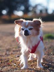 ピノ2017-01-23 15.44.09 (やんちゃなちわわ) Tags: ピノ pino 犬 dog チワワ chihuahua