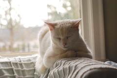 watching Charlie sleep (rootcrop54) Tags: charlie allwhite white male cat window sleeping light bokeh macska kedi 猫 kočka kissa γάτα köttur kucing gatto 고양이 kaķis katė katt katzen kot кошка mačka maček kitteh chat ネコ color pastels shadesofwhite cc1000 cc5000