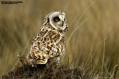 Short-eared Owl, Asio flammeus. (Nigel Blake, 17 MILLION views! Many thanks!) Tags: bird nature birds canon photography scotland north outer blake nigel ornithology uist hebrides outerhebrides birdphotography northuist hiboudesmarais jorduggla velduil 600mmf4lis nigelblake nigelblakephotography 7dmkii 7dmk2