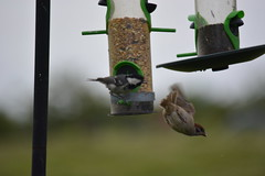 Greased perch? (rawdonfox) Tags: summer bird nikon tit yorkshire ripley sparrow plummet greased coaltit nikond5200
