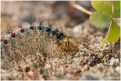 caterpillar moth (7D028796) (Hetwie) Tags: nederland caterpillar rups vlinders noordbrabant helmond plakker lymantriadispar nachtvlinder
