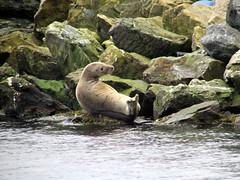 Grey Seal near Lerwick (Reading Tom) Tags: shetland seal