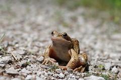 Springfrosch (Aah-Yeah) Tags: bayern frog rana frosch achental springfrosch chiemgau marquartstein froschlurche dalmatina