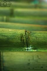 Green Vein (hoto) Tags: nature outdoors hawaii ngc bamboo