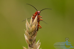 Soldier Beetle (View From The Chair Photography) Tags: nature cardinal wildlife beetle