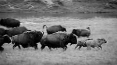 _BAJ2436 (Beau_Johnston) Tags: yellowstone bison