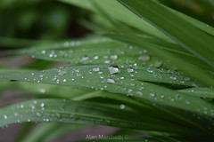Gloss Green Rain (alan.marchetti) Tags: naturaleza plant verde green nature argentina leaves rain garden hojas drops lluvia nice nikon plantas magic drop gotas nikonistas nikond3300 d3300 iamnikon