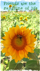 Friends are the sunshine of life (~*~ MagpiesNest) Tags: flowers blue friends sky green yellow gold virginia bumblebee your sunflowers farms pick own burnside