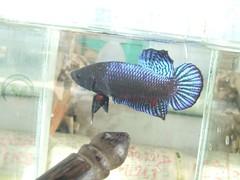 ปลากัดอินโด การสร้างสายพันธุ์ที่ดี