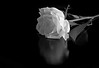 A Rose just for you. (alanpeacock2) Tags: bw white reflection rose perfume buttonhole fragrance loveyou englishrose flowersinmygarden