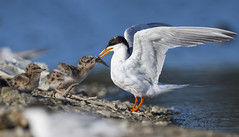 Just for you ....my dear! (Eric SF) Tags: california chick tern feedingtime redwoodcity shorebird bestpractices forsterstern