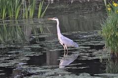 DSC_0133 (popopo_2004) Tags: bird osaka  hirakata   d5000 20130514