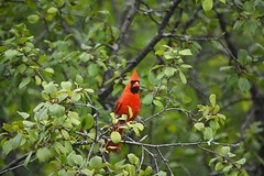 Cardinal 3 (Braden Bygrave) Tags: park cambridge red ontario canada colour bird nature beautiful birds animal animals nikon cardinal like fave explore colourful nikonphotography d7100 55300mm nikond7100