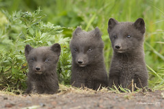Young Artic Foxes (Blue Subspecies) St Paul Island, Alaska coming out of the den (Chantal Jacques Photography) Tags: fox youngs articfox saintpaulisland