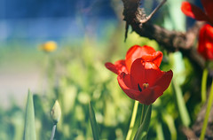 Red dress (Marjarah) Tags: flowers red plants nature garden spring tulip