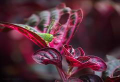 Camouflage fail_c (gnarlydog) Tags: grasshopper insect australia red kodakcineektanon102mmf27 bokeh manualfocus adaptedlens vintagelens foliage shallowdepthoffield