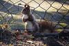 darf ich rein kommen? (explored) (bauingenieuse) Tags: squirrel eichhörnchen garten garden besuch visit red rot süs wiese herbst 2016 bauingenieuse bunt cute einfang tor door zaun fence entrance boy junge eichkater 100mm 100mm128lmakroisusm canon 60d explored