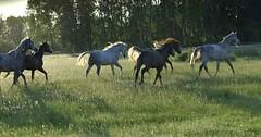 _le00375b (lotharlenz) Tags: shagyaaraber herde babolna