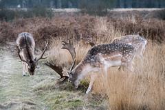 Richmond Park, London (Tiphaine Rolland) Tags: richmond richmondpark london londres parc park nikond3000 d3000 nikon winter hiver deer cerf animal