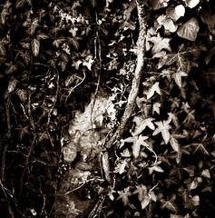 Texture studio (Claudio Taras) Tags: texture claudio contrasto controluce hasselblad501cm taras trier bw bokeh biancoenero bokehlicious black film flower fiori fomapan 6x6 rodinal rollfilm analogica bokelicious