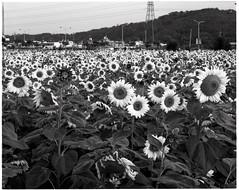 向日 (故事的瞬間) Tags: 320txp 向日葵 花