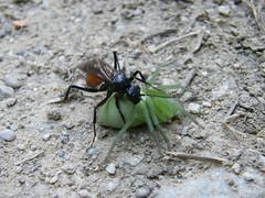 Szöcskeölő darázs pókot zsákmányolt (ossian71) Tags: magyarország hungary sopronihegység sopron természet nature rovar insect