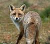 Fox (David Gange) Tags: fox mammal spain gredos hostal almanzor nikon d7200 tamron 150600mm