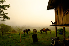 DSCF0947.jpg (voyagermission) Tags: dawn colombia amanecer caqueta solano caballo horse rooster gallo