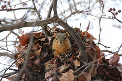 212/365/3134 (January 9, 2017) - Squirrels in Ann Arbor at the University of Michigan (January 9, 2017) (cseeman) Tags: squirrels annarbor michigan animal campus universityofmichigan umsquirrels01092017 winter eating peanut januaryumsquirrel cold 2017project365coreys yearnineproject365coreys project365 p365cs012017 356project2017 gobluesquirrels umsquirrel foxsquirrels easternfoxsquirrels michiganfoxsquirrels universityofmichiganfoxsquirrels