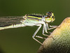 Damselfly on a strelizia (LSydney) Tags: insect macro damselfly