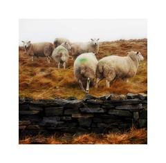 Rural Rochdale (Missy Jussy) Tags: rural newhey ogden rochdale farming farmland sheep animals wall drystonewalls landscape lancashire fog winter field hillside canon canon5dmarkll 50mm