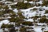 Chevreuil et un peu de neige (Patrice Baud) Tags: neige chevreuil caprioli roedeer deer cerdagne montagne pyrénées nikon d7100 nikkor300f4 wildlife sauvage capreolus hueva rogen fresa