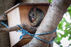 Tree apartment (betta design) Tags: possum centennialpark canon sydney australia tree arvore animal nature native box nest free wild marsupial arboreal nocturnal